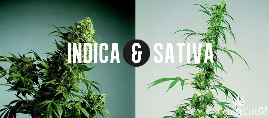 749-cannabis-sativa-o-indica-00 (1)